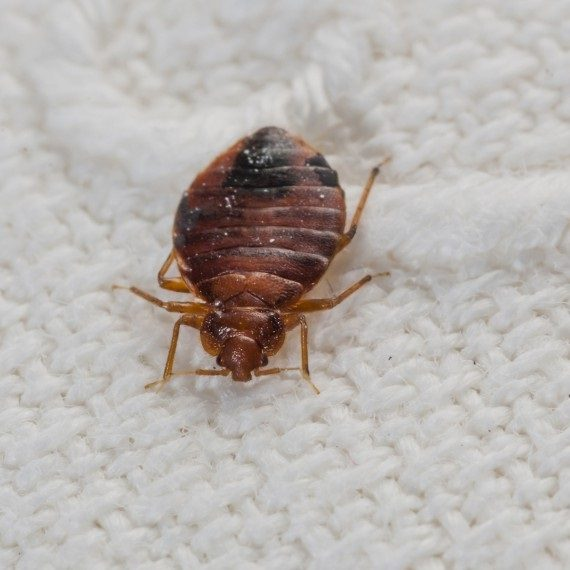 Bed Bugs, Pest Control in Belmont, South Sutton, SM2. Call Now! 020 8166 9746