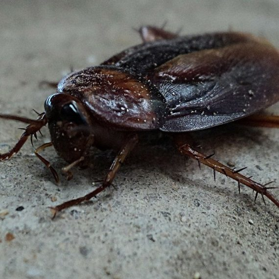 Cockroaches, Pest Control in Belmont, South Sutton, SM2. Call Now! 020 8166 9746