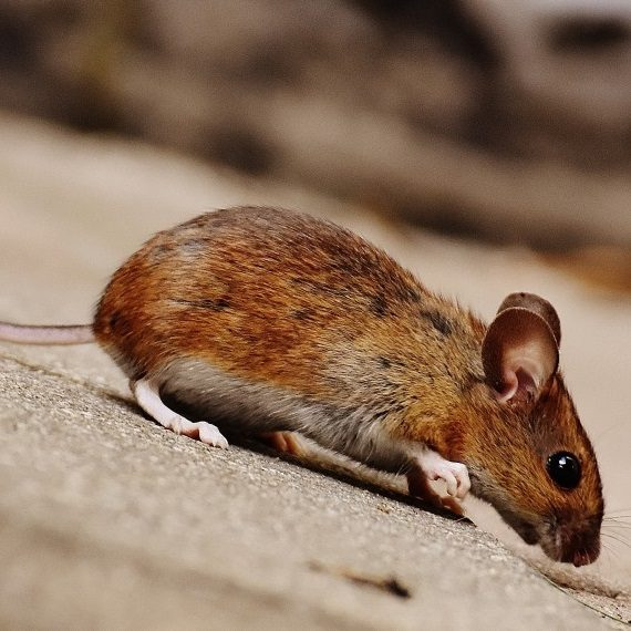Mice, Pest Control in Belmont, South Sutton, SM2. Call Now! 020 8166 9746