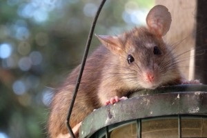 Rat Control, Pest Control in Belmont, South Sutton, SM2. Call Now 020 8166 9746