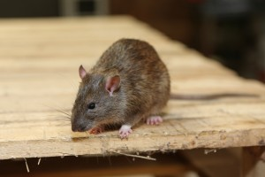 Mice Infestation, Pest Control in Belmont, South Sutton, SM2. Call Now 020 8166 9746