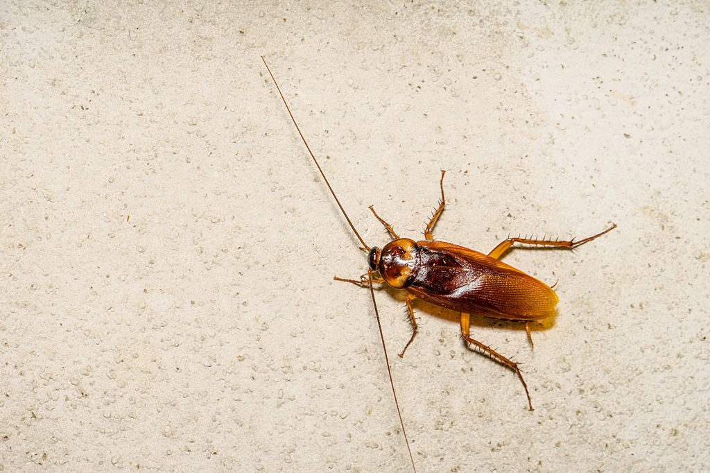 Cockroach Control, Pest Control in Belmont, South Sutton, SM2. Call Now 020 8166 9746