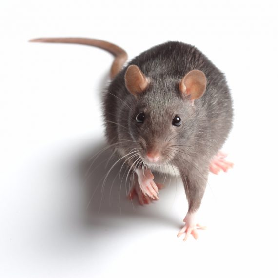 Rats, Pest Control in Belmont, South Sutton, SM2. Call Now! 020 8166 9746