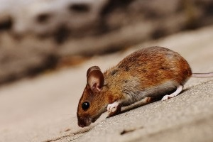 Mice Control, Pest Control in Belmont, South Sutton, SM2. Call Now 020 8166 9746